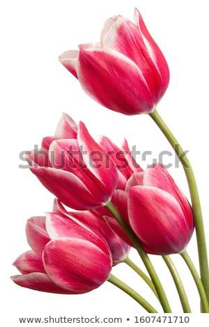 Tarjeta de felicitación rosa tulipanes aislado blanco Pascua Foto stock © natika