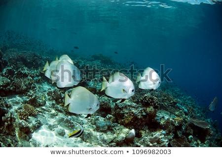 Orbicular batfish Stock photo © bluering