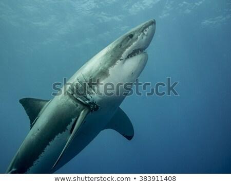 Fehér cápa művészet rajzolt nagyszerű mély Stock fotó © blackmoon979