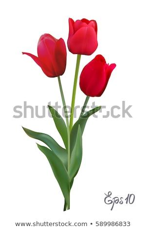 три · красный · тюльпаны · изолированный · белый · Пасху - Сток-фото © homydesign