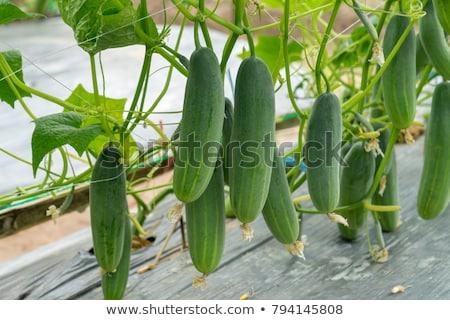 pepino · planta · crescente · jardim · cama · flor - foto stock © Virgin