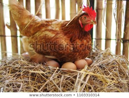 Galinha ovo palha frango ninho alimentos orgânicos Foto stock © smuay