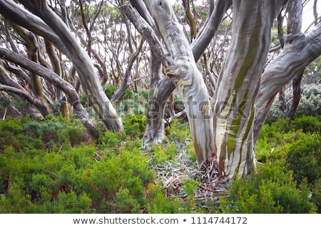 Australian gum trees in the snow Stock photo © lovleah