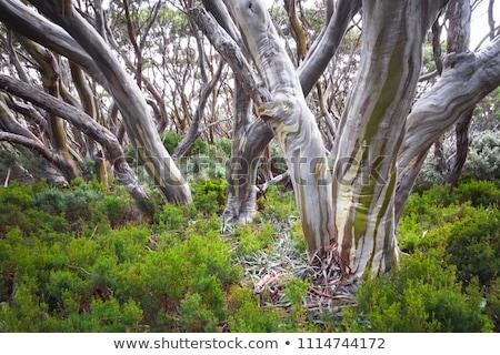 Australijczyk guma drzew śniegu świetle drogowego Zdjęcia stock © lovleah