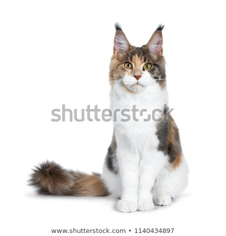 sweet pretty tortie young adult maine coon girl cat isolated on white background stock photo © catchyimages