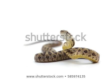 Czerwony węża biały ilustracja sztuki zwierząt Zdjęcia stock © bluering