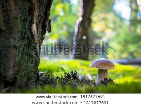 Cogumelos floresta clareira outono crescer naturalismo Foto stock © romvo