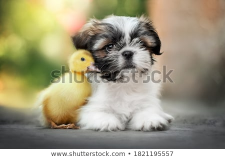shih tzu puppy Stock photo © eriklam