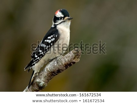 Downy Woodpecker Watching From a Branch Stock photo © rhamm
