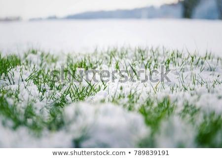 трава снега покрытый мороз фон природы Сток-фото © bendzhik