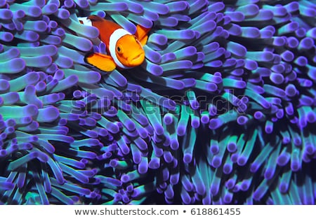 clownfish in anemone Stock photo © adrenalina