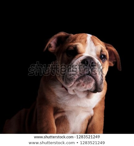 close up of adorable english bulldog looking down to side Stock photo © feedough