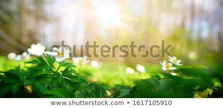 Voorjaar zonneschijn bloemen lichten grond weide Stockfoto © romvo