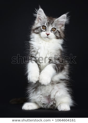 Stock photo: Black and white harlequin Maine Coon kitten on white