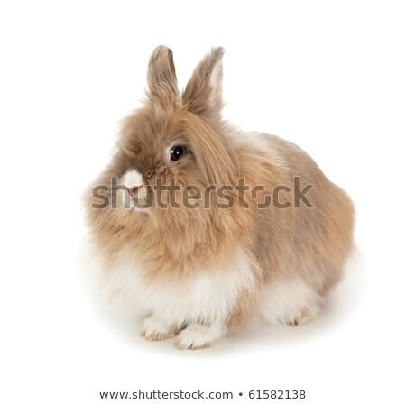 Cüce tavşan kafa fotoğraf çok güzel beyaz Stok fotoğraf © Francesco83