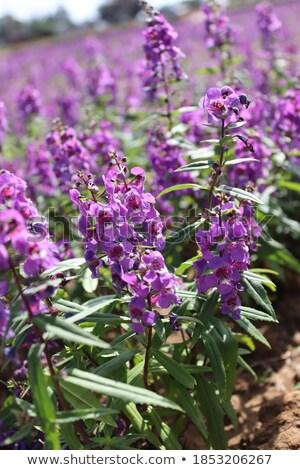 Sage (Salvia) Stock photo © haraldmuc