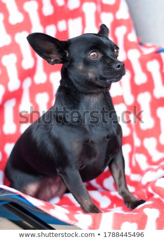 white mixed breed dog with funny ears portrait in white backgrou stock photo © vauvau