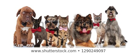 many elegant dogs of different breeds wearing bowties  Stock photo © feedough