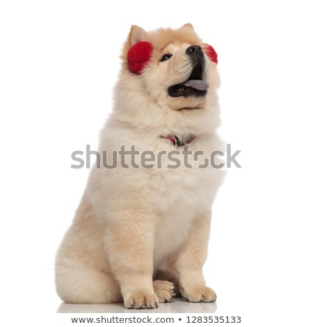 seated chow chow with red collar and earmuffs looks up Stock photo © feedough