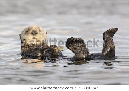 Sea Otter Floating in the Water Stock photo © matimix