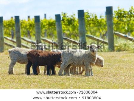 Babydoll sheep  Stock photo © alexeys