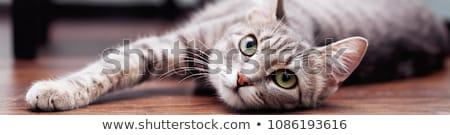 Domestic Cat Face Stock photo © ca2hill