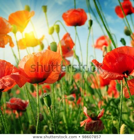 Haşhaş çiçek çayır sabah ışık bahar Stok fotoğraf © meinzahn