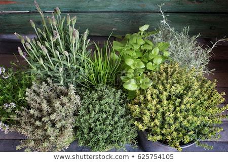 miscellaneous herbs Stock photo © mycola
