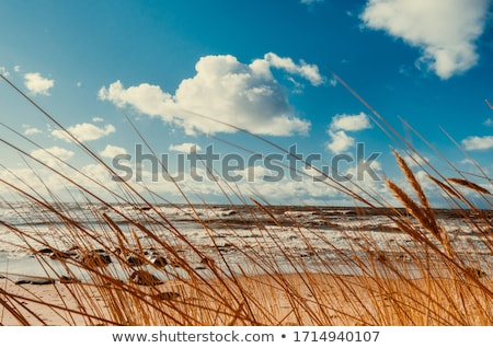 dune grass with blue sky stock photo © w20er