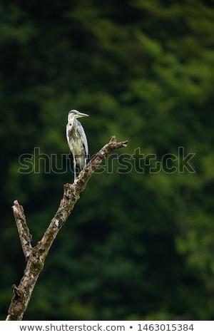 Grijs reiger vlucht avond licht wildlife Stockfoto © lightpoet