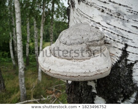 tinder fungus or Fomes fomentarius in forest Stock photo © LianeM
