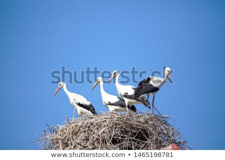 beautiful stork stand on roof Stock photo © ryhor