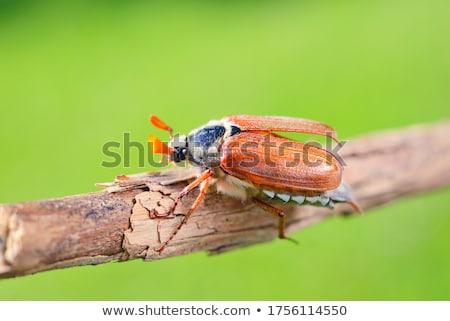 may bug stock photo © perysty