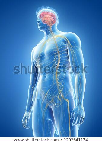 Stok fotoğraf: 3d Rendered Illustration Of The Male Nerve System