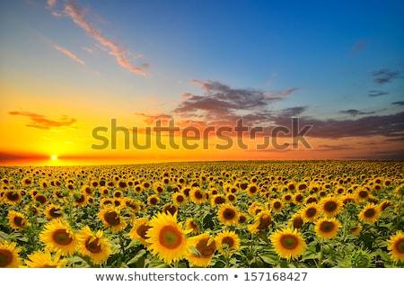 campo · girassóis · verão · blue · sky · branco · nuvens - foto stock © mycola