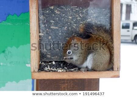 Eekhoorn zaden vogel ontario Canada Stockfoto © bmonteny