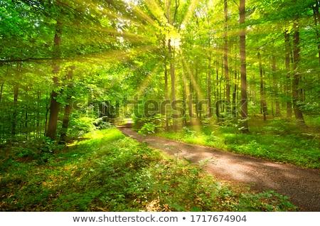 Beech forest Stock photo © vtorous