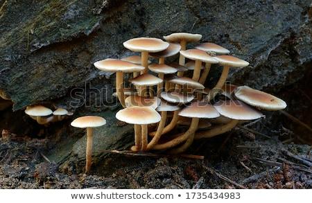 Mantar ağaç resim büyüyen orman Stok fotoğraf © nialat
