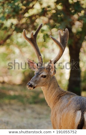 Californian Black-tailed buck  Stock photo © jeffbanke