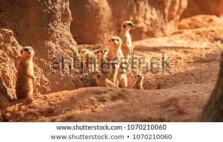 meerkats at sunset stock photo © adrenalina