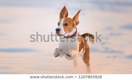 Stock photo: dog running on snow covered fields