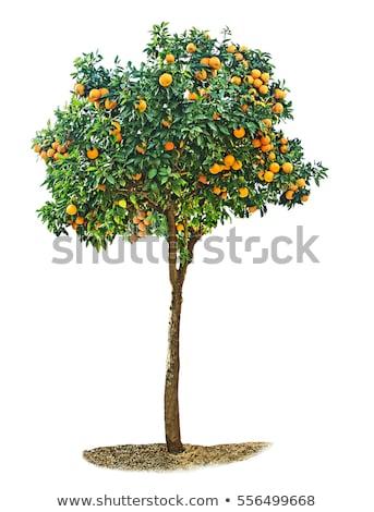 Izolált narancsfa fehér illusztráció természet terv Stock fotó © bluering
