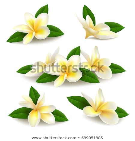 yellow frangipani blossom Stock photo © smithore
