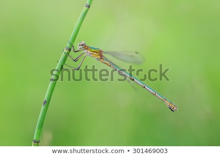 emerald damselfly lestes sponsa stock photo © chris2766