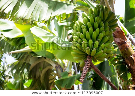 Stockfoto: Banaan · plantage · la · voedsel · vruchten