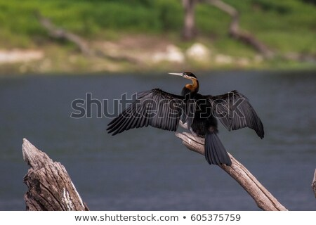 African Darter Stock photo © dirkr