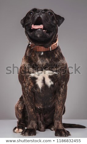 adorable panting boxer with spiked collar sitting and looking up Stock photo © feedough