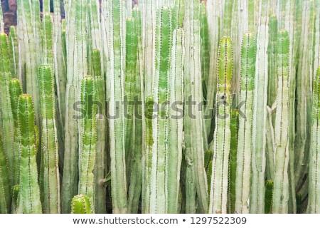Close-up view of many trunks of spurge cactus Stock photo © vapi