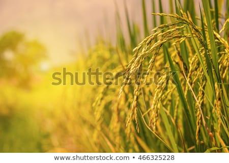 Rijst plant rijstveld groeiend berg Stockfoto © Juhku