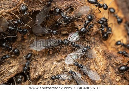 Esküvő hangyák illusztráció szív levél házasság Stock fotó © adrenalina
